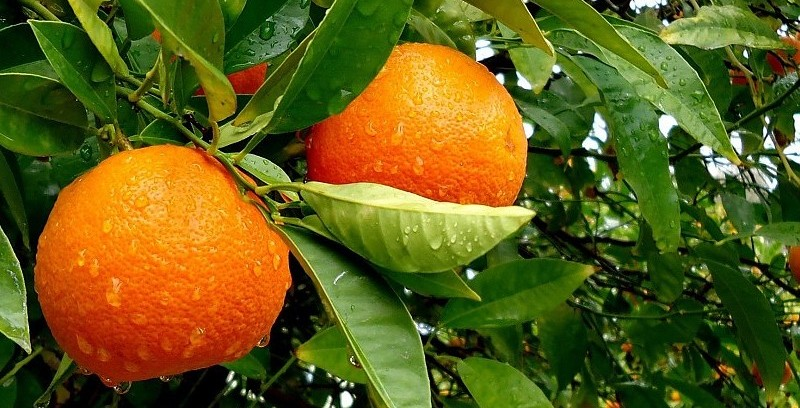 fruits-leaves-oranges-water-drops-fruit-trees-pics-163265